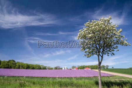 bluehendes zwiebelfeld mit fruehlingsbaum unter blauem