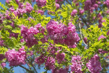 pink acacia