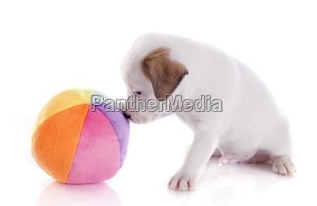 welpenheber russel terrier