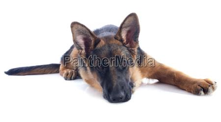 welpe deutscher schaeferhund