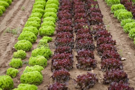 fresh green and red salad lettuce