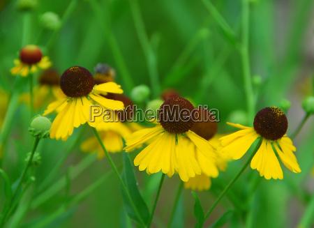 brown yellow helenium flexuosum flower