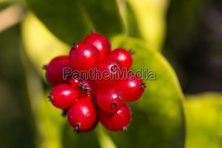 hagebutte heckenrose frucht tee heilpflanzen beere