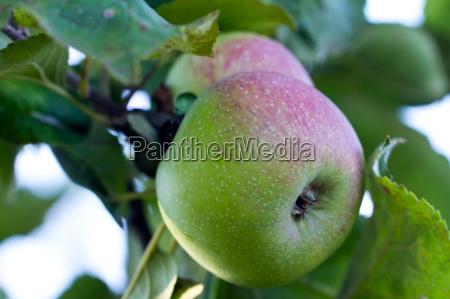 apfel apfelbaum aepfel apfelbaeume apfelernte apfelsaft