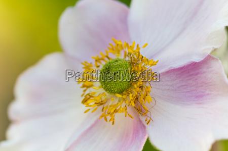 kuechenschelle blume bluete pollen pollenflug allergie