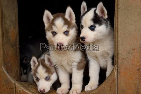 drei blauaeugige hundewelpen