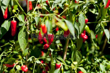fresh spicy red chilli on shrub