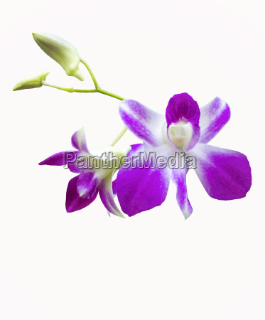 blume pflanze flora fruehjahr pflanzenwelt knabenkraut