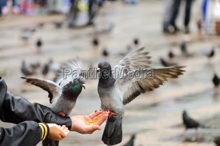 hand fed pigeons
