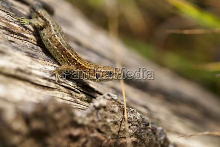waldeidechse zootoca vivipara