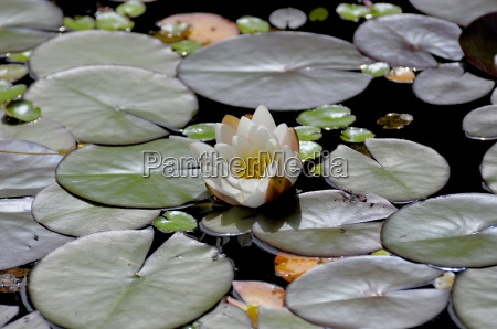 white water lily nymphaea alba