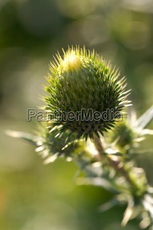 distel blumen stachelpflanzen insekten hummel gelb