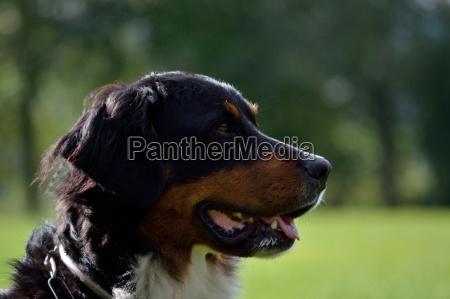 seitllich blickender hund portrait