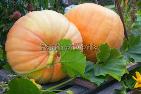 two pumpkins in a garten