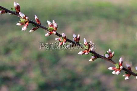 unopened buds of prunus tomentosas flowers