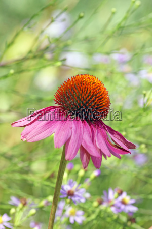 echinacea purpurea with aster azureus in