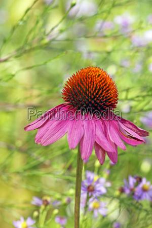 echinacea purpurea and aster azureus