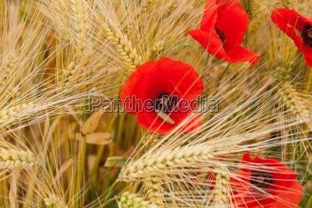 rote mohnblumen auf dem mais feld
