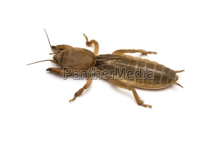 maulwurf cricket
