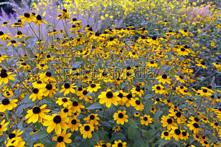 october sun hat rudbeckia triloba in