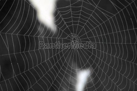 spinnennetz mit kuh im hintergrund