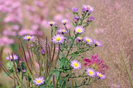herbstastern und diamantgras calamagrostis arundinacea