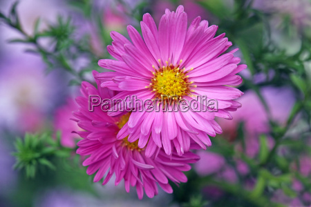 cushion asters in pink aster dumosus