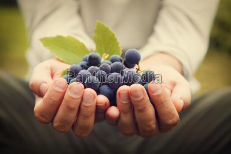 trauben ernten