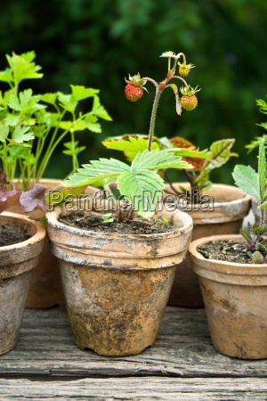 herb herbs strawberry strawberry plant pepper