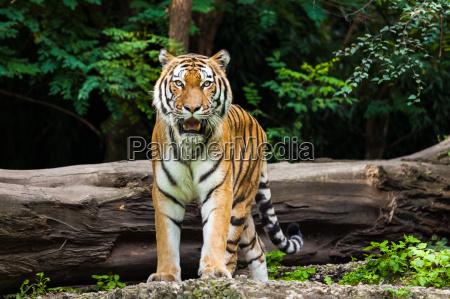 tiger - 10072882