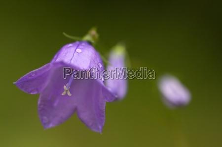 rundblaettrige glockenblume round leaved bellflower
