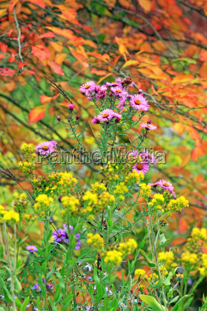 new england asters in autumn garden