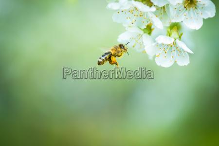 honigbiene geniesst bluehenden kirschbaum auf einem