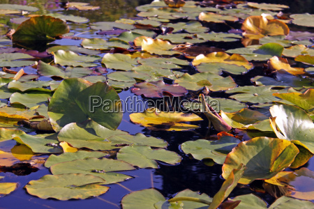 water lily floating leaves in garden