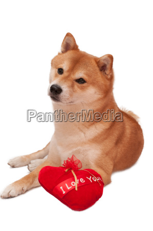 japanese shiba inu dog in front