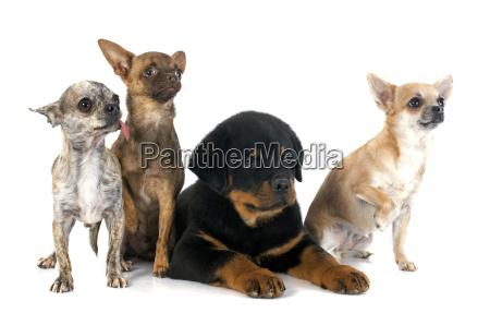 vier hund hunde welpe rottweiler gruppieren