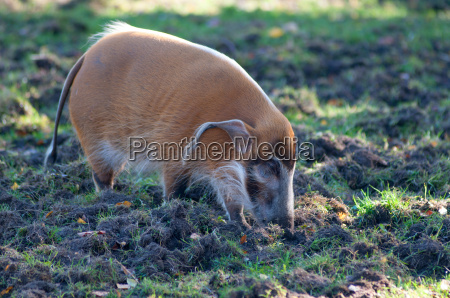 red river hog walking through the