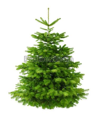 perfekter dichter tannenbaum isoliert ohne schatten