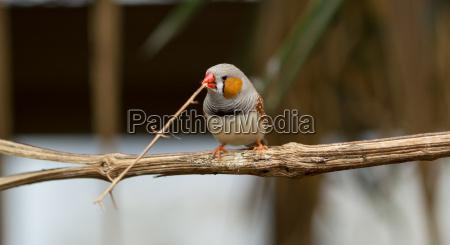 buntfink beim nestbau
