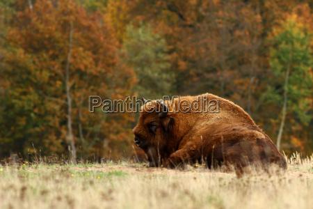 der wisent oder europaeische bison bison