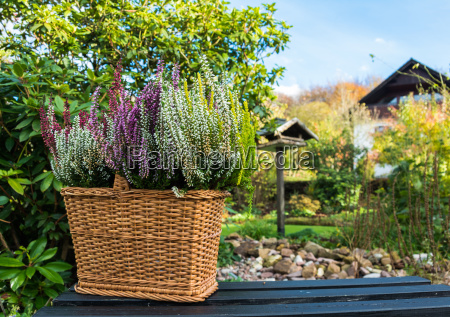 basket with heather in the garden