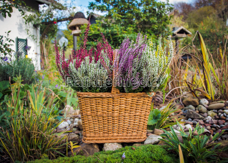 autumn garden with heather in the