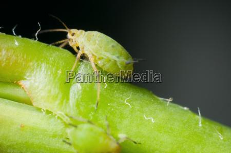 macro of single greenfly