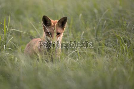 fox hunts on a mouse