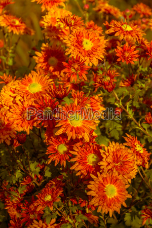 blossoms autumn chrysanthemums