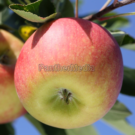 apple on the branch of an