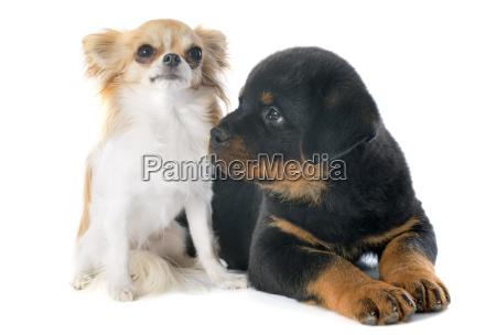 welpen rottweiler und chihuahua