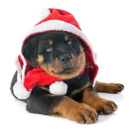 weihnachten rottweiler