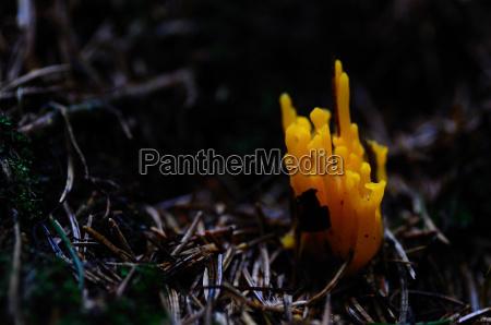 pilz orange koralle