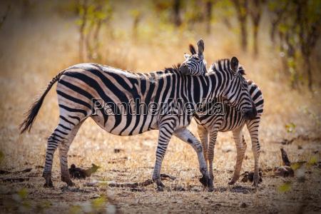 afrika zebra suedafrika wildniss